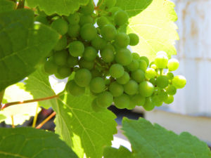 old mission peninsula grapes
